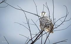Max zoom - 400 mm from 40 yards out (Dr. Farnsworth) Tags: snowy owl bird zoom 400mm lens branch eyes female fernridge mi winter january2017