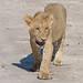 Löwenjunges / Lion Cub