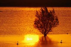 flood - Hochwasser (Knarfs1) Tags: flood hochwasser rhein rhine river tree baum swan schwan sunset sonnenuntergang sundown