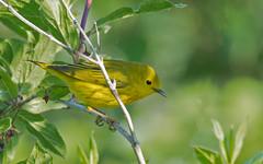 Yellow Warbler (nickinthegarden) Tags: yellowwarbler dendroicapetechia pittmeadowsbccanada grantsnarrow
