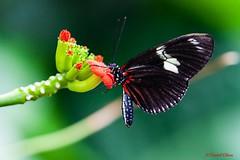 Doris Longwing Butterfly (danielusescanon) Tags: canon cleveland botanicalgardens dorislongwing 5d2 5dii ef100400mmf4556lisiiusm