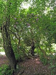 Flowers hidden (Sutton Park) (zoekay) Tags: park trees nature birmingham suttoncoldfield suttonpark outsidespaces
