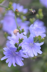 2-ChicoryWithBug (T's PL) Tags: plant flower bug virginia nikon dof outdoor lexington depthoffield bee va cichoriumintybus lexingtonva yabbadabbadoo commonchicory d7000 tamron18270 nikontamron nikond7000 tamron18270mmf3563diiivcpzd chessienaturetrail