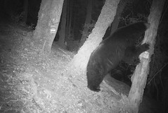Carnivore camera: Wildlife photos from the Wild Rogue Wilderness (BLMOregon) Tags: bear wild animals oregon wildlife rogue rogueriver wildernessarea wildandscenicriver wildroguewilderness