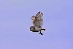 Evening Supper Time (Kentish Plumber) Tags: uk england bird nature kent europe wildlife raptor owl southeast barnowl birdofprey birdwatcher southernengland weald nbw bwg birdwatchinggroup
