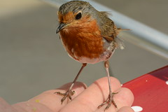 A Bird in the Hand...... - TROML - 1134 (Clint__Budd) Tags: southwales abirdinthehand nbgw nationalbotanicgardenwales 115picturesin2015