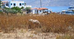 DSC04751 (villeveta) Tags: mountain berg boat thistle donkey bt mediterraneansea kalymnos odysseus hamn aegeansea medelhavet masouri telendos tistel sna egeiskahavet mirties velivilppu