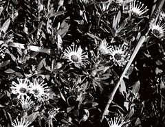 Flowers in black-and-white, again again again (Matthew Paul Argall) Tags: flowers plants plant flower 110 110film