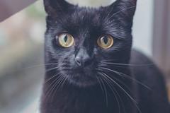 IMG_7054 (BalthasarLeopold) Tags: animal animals balthasar blackcat blackcats cat cateyes cats closeup dephtoffield dof feline felines indoorcat kitten kittens leopold pet pets