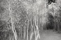 Untitled183_2016 (Jonny Bell) Tags: jonny bell icm multiple exposures tree black white suffolk