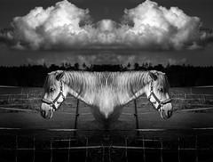 Verspiegelte Angelegenheit (One-Basic-Of-Art) Tags: art artwork kunst horse horses pferd pferde animal animals tier tiere animaux wolken cloud pferdehof nature himmel sky natur black white schwarz weis weiss grau gris grey gray noir blanc annewoyand woyand 1basicofart onebasicofart oboa