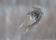 Chouette épervière - Surnia ulula - Northern Hawk-Owl (Anthony Fontaine photographe animalier) Tags: wow