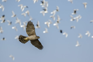 Astor o falcó perdiguer (Accipiter gentilis) , _DSC6509