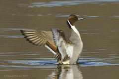 Stretch those wings! (danielusescanon) Tags: duck northernpintail anasacuta wild huntleymeadowspark virginia drake stretching birdperfect