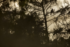 Red Kite Roost (Daniel Trim) Tags: red kit chilterns uk england