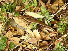 Many-lined Sun Skink (tinlight7) Tags: skink lizard reptile vietnam catba taxonomy:kingdom=animalia animalia taxonomy:phylum=chordata chordata taxonomy:subphylum=vertebrata vertebrata taxonomy:class=reptilia reptilia taxonomy:order=squamata squamata taxonomy:suborder=sauria sauria taxonomy:family=scincidae scincidae skinks salamanquesasyparientes scynkowate taxonomy:common=skinks taxonomy:common=salamanquesasyparientes taxonomy:common=scynkowate taxonomy:genus=eutropis eutropis taxonomy:species=multifasciata taxonomy:binomial=eutropismultifasciata manylinedsunskink commonsunskink eastindianbrownmabuya eutropismultifasciata vielstreifenmabuye bengkarung kadal taxonomy:common=manylinedsunskink taxonomy:common=commonsunskink taxonomy:common=eastindianbrownmabuya taxonomy:common=vielstreifenmabuye taxonomy:common=bengkarung taxonomy:common=kadal inaturalist:observation=5243878