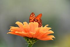 Pale orange zinnia with butterfly (justkim1106) Tags: gulffritillary butterfly insect bokeh flower zinnia nature beyondbokeh