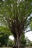 Zelkova Carinifolia (Ulmaceae) (LoomahPix) Tags: botanic botanical botany kew kewgardens nature outdoors outside beautiful beauty flora green outdoorphotography summer tree trees 7dwf
