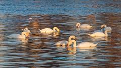 Easy going (malioli) Tags: swan bird animal river water riverside mood morning flock korana croatia hrvatska europe canon photo photography pics picture image