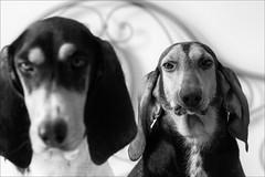 dubbio (andaradagio) Tags: dog cane miglioramicodelluomo andaradagio bianconero