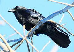 American crow at Lake Meyer Park  IA 854A6027 (lreis_naturalist) Tags: american crow lake meyer park winneshiek county iowa larry reis