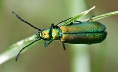 mosca española (ideacanal) Tags: idea ideacanal afrodisiaco comida salud sexualidad