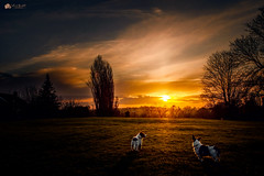 It doesn't get any better than this... (Explored) (Kerriemeister) Tags: sunset max paddy maxandpaddy nikon winter silhouettes fulford york walk dog dogs jackrussellterrier jack russell brothers