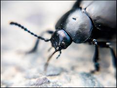 20160825-055 (sulamith.sallmann) Tags: tiere black detail fühler insekt käfer macro makro nahaufnahme schwarz frankreich fra sulamithsallmann