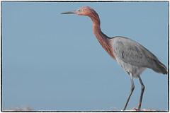 Reddish egret (RKop) Tags: caladesiislandstatepark raphaelkopanphotography florida 70400gssmsony a77mk2 sony