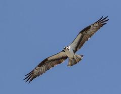Cover Air Patrol (lennycarl08) Tags: california birds northerncalifornia raptor eastbay osprey birdofprey mareislandosprey