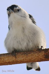 White breasted nuthatch (don.white55 Thank you...) Tags: bird nature canon eos backyard glow different pennsylvania birding fluffy perched birdwatching whitebreastednuthatch harrisburg puffed sunning 70d sittellepoitrineblanche