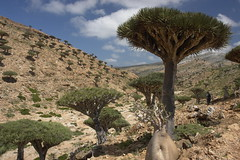 yem_1388 (Peter Hessel) Tags: yemen socotra soqotra jemen homhil dragonbloodtree dracaenacinnabari