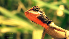 Looking Life Through A Different Set Of Eyes (VenuAnanda) Tags: kerala chameleon wayanad geeko kalpetta greengateshotel