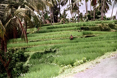 26-327 (ndpa / s. lundeen, archivist) Tags: people bali color film rural 35mm indonesia 26 nick hill working terraces southpacific farmer 1970s hillside 1972 indonesian balinese dewolf oceania pacificislands terraced nickdewolf photographbynickdewolf terracedhillside reel26