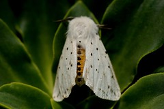 Witte tijger, White ermine (Spilosoma lubricipeda) (Theo Groen) Tags: wittetijger spilosomalubricipeda whiteermine