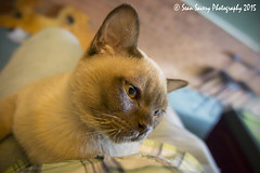 Up Close and Personal (Sean Savery Photography) Tags: pet cute cat canon kitten powershot burmese compact oneanimal domesticanimal animalthemes canong1xmark2