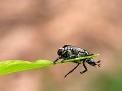 Japanese Beetle on Leaf End (ksblack99) Tags: japanesebeetle beetle leaf insect allfreepicturesaugust2018challenge