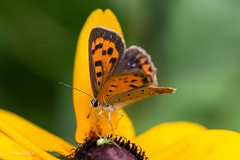 2015 Common Copper #2 (Yorkey&Rin) Tags: summer macro japan butterfly july olympus neighborhood  rudbeckia kanagawa rin kawasaki  em5 commoncopper    pc236576 olympusm60mmf28macro
