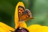 2015 Common Copper #2 (Yorkey&Rin) Tags: summer macro japan butterfly july olympus neighborhood 夏 rudbeckia kanagawa rin kawasaki 近所 em5 commoncopper 7月 ベニシジミ ルドベキア pc236576 olympusm60mmf28macro