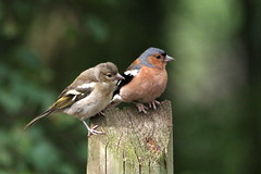 IMGP3039 pair of Chaffinch, Paxton Pits, August 2015 (bobchappell55) Tags: bird nature pits wildlife pair reserve cambridgeshire paxton chaffinch
