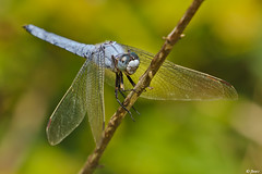 Orthetrum brunneum (Orthétrum brun) (fbarz) Tags: france dragonfly lac 31 garonne libellule libellulidae hautegaronne capelle odonate orthetrum orthetrumbrunneum anisopteres laragou orthétrumbrun