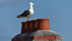 Great Black-backed Gull (Larus marinus) (Charos Pix) Tags: bricks pointing brickwork