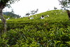 Picking tea (Carrascal Girl) Tags: tea ella srilanka ceylon teafactory teaplantation teaestate teapickers ceylontea teaharvest