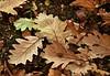 Autumn LBG Oct 16 - 60 (Lostash) Tags: nature life plants flora leaves autumn autumnal leicesterbotanicalgardens
