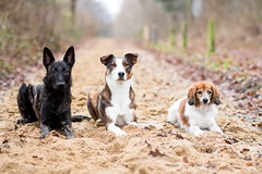 Die 3 von der Tanke (Maria Zielonka) Tags: hund hunde hundefotografie dog dogs dogphotography outdoor schäferhund schäferhunde schäferhundmix herder herdershond holländischer hollandse dutch shepherd kooiker kooikerhondje senior junior rudel