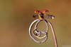 2017, Here I Come! (Vie Lipowski) Tags: ladybug ladybird ladybeetle tendril insect beetle bug wildlife nature macro