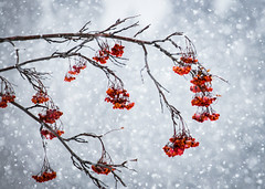 Snow Berries (ebhenders) Tags: mountain ash snow berries red montana missoula sticks winter