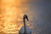 'Naomi' (Jonathan Casey) Tags: swan lake whitlingham great broad norfolk uk nikon 400mm d810 f28 vr