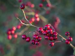Hawthorn berries in morning sunshine (Unni Henning (also Instagram @unnikarin59)) Tags: hawthorn red autumn morning sunshine macro closeup bokehbackground bokeh november outdoor tree nature warwickshire england