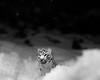 The White Tiger (chrishowardphotography.com) Tags: thewhitetiger tiger whitetiger